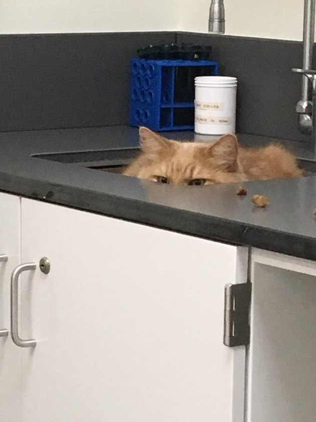 orange cat hides in sink from doctor