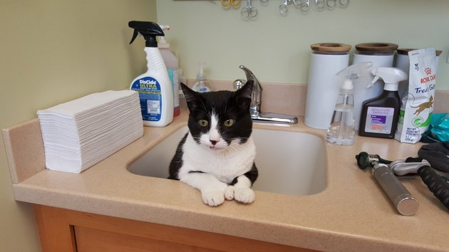 tuxedo cat tries to hide from vet in sink