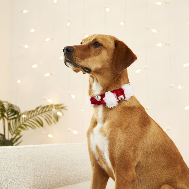festive pet collar with jingling bells