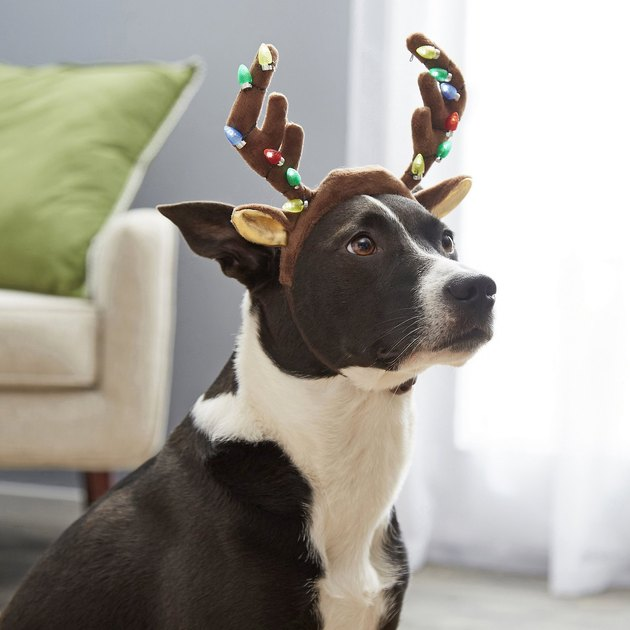 dog wears LED headband shaped like antlers