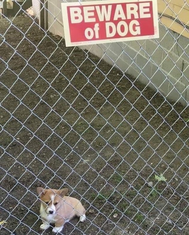 Corgi puppy behind a chain link fence  with a Beware of Dog sign