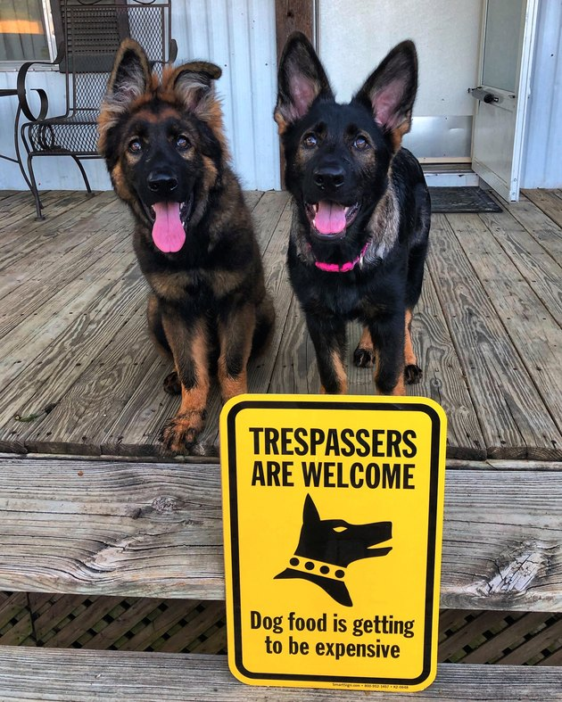 "Two German Shepherd puppies with a sign that says ""Trespassers Are Welcome, Dog food is getting to be expensive"""