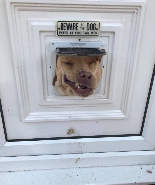 Dog with its head stuck in a cat door underneath a sign that says Beware of Dog