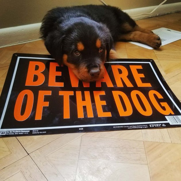 Rottweiler puppy laying on Beware of the Dog sign