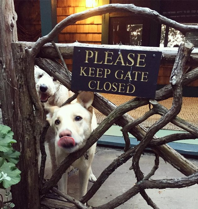 Two dogs behind a gate with a sign that says Please Keep Gate Closed