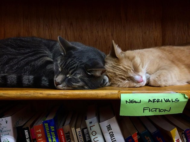 "Two cats sleeping on a shelf labeled ""New Arrivals Fiction"""