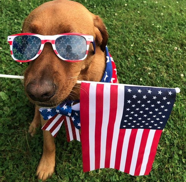 dog with American flag in mouth