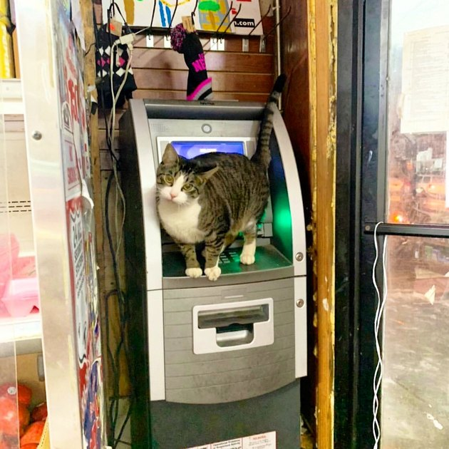 Cat standing on an ATM