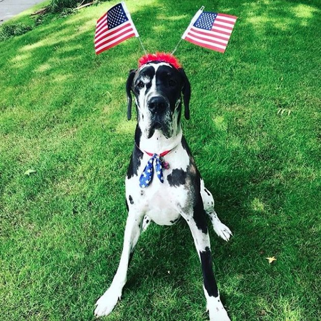 dog with two American flags on his head