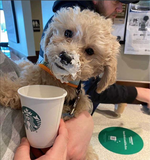 Small poodle mix smiles at camera with whipped cream on his mouth while at Starbucks.