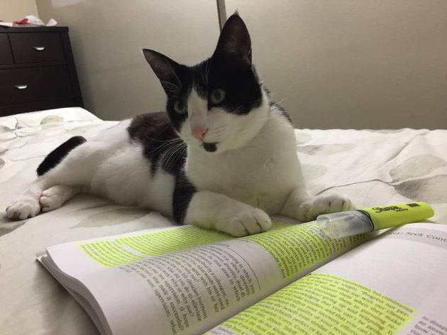 cat lays on book