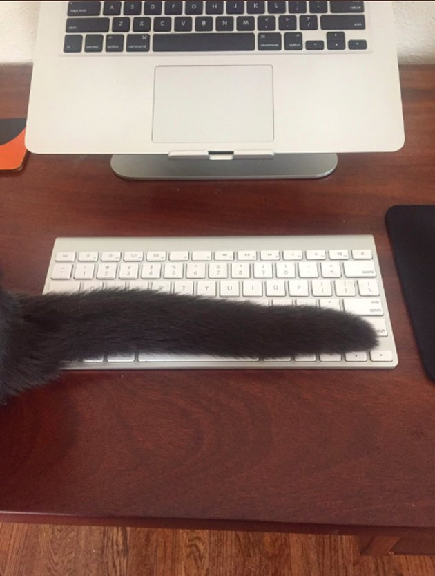 cat drapes tail across keyboard