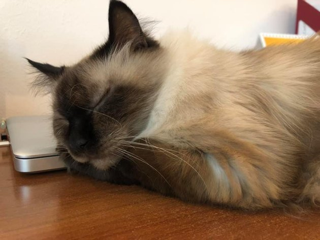 office cat falls asleep on laptop