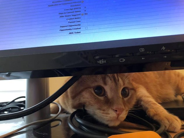 cat sneaking under computer monitor