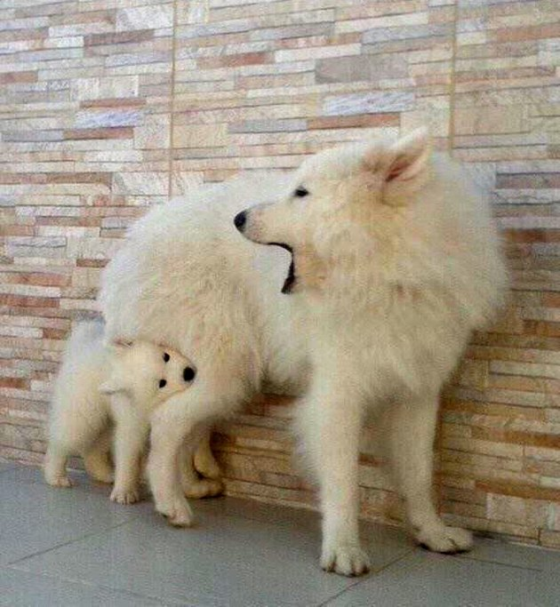 Puppy biting dog's back leg