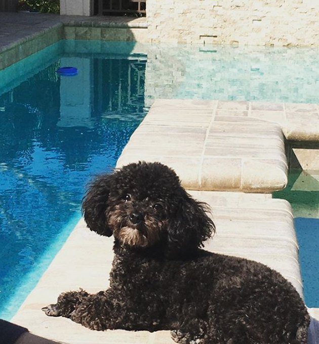 dog lounging by pool