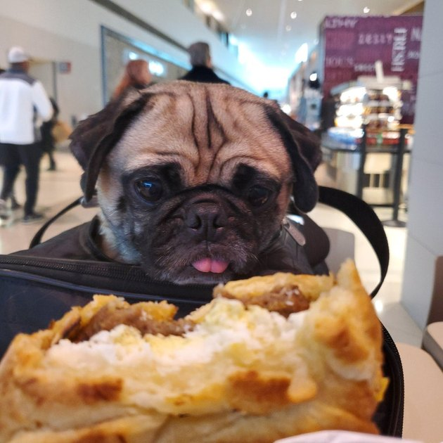 Dog looking at food with its tongue sticking out