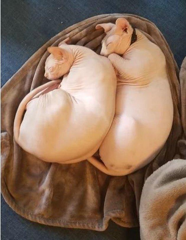 Sphyx cats cuddling