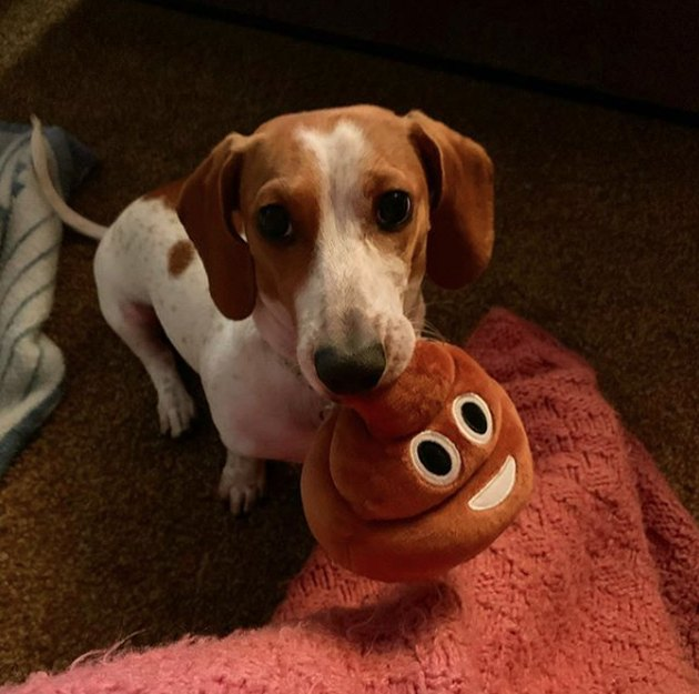a dachshund with a stuffed poop toy