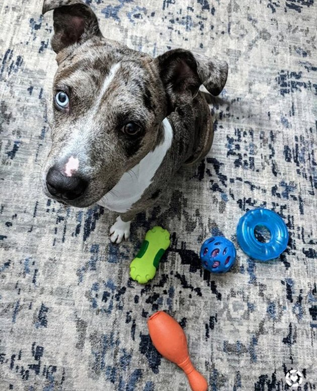 dog with multiple chew toys