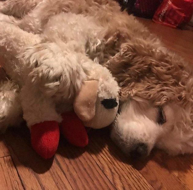 dog sleeping with stuffed toy
