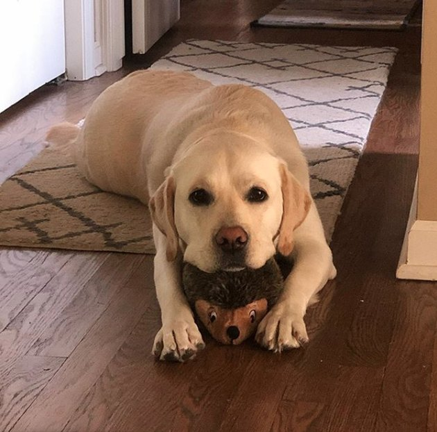 a dog lying on its stuffed porcupine toy