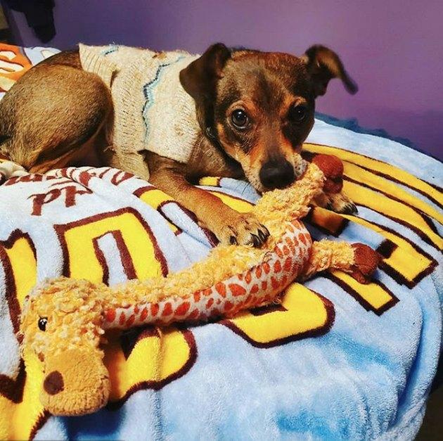 dog with giraffe toy