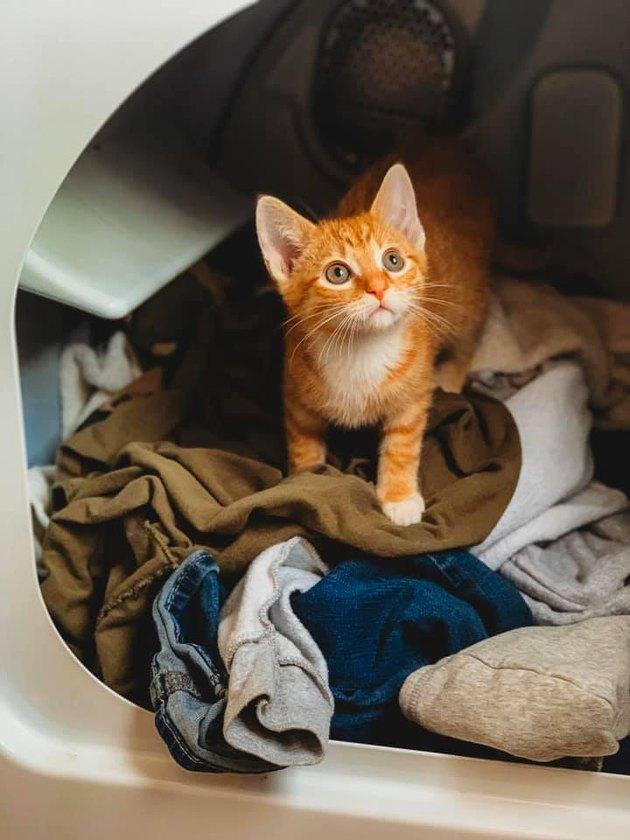 orange kitten in laundry dryer