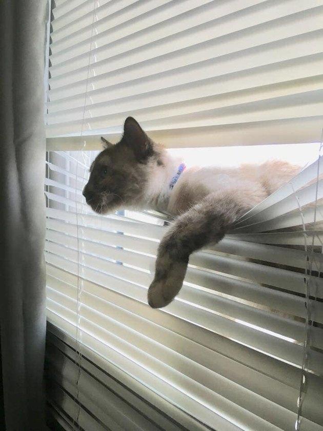 cat peering through window blinds