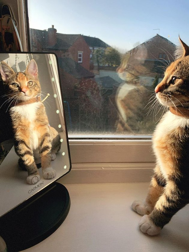 stripey cat marvels at reflection in mirror