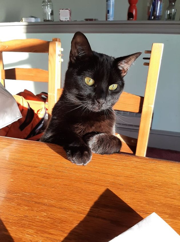 black cat sits like human at kitchen table