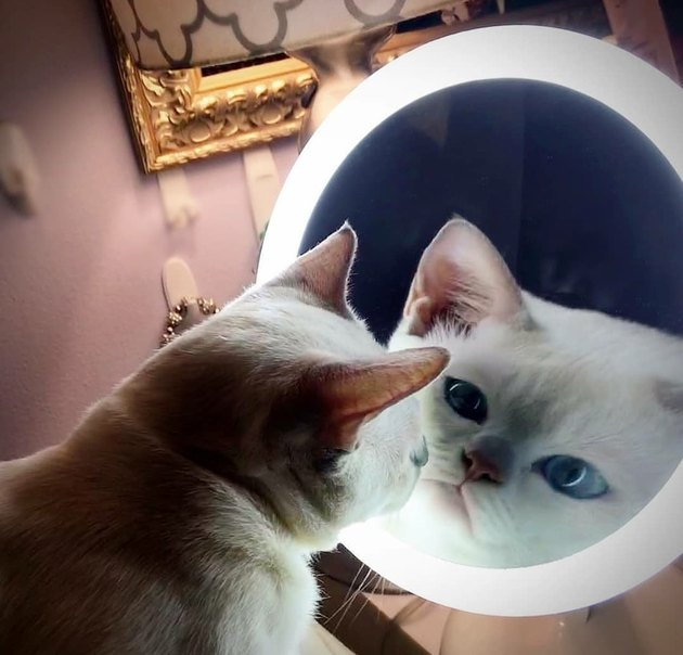 cat stares at mirror