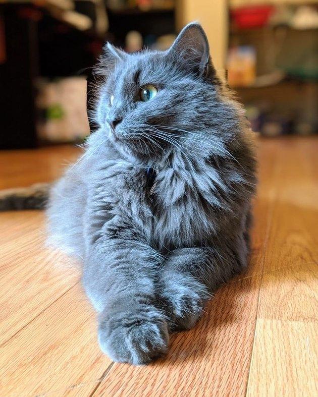 majestic gray cat