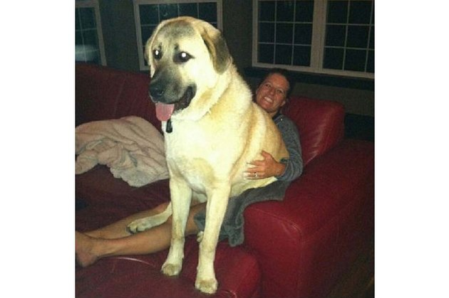 19 Big Dogs Who Still Think They're Little Puppies