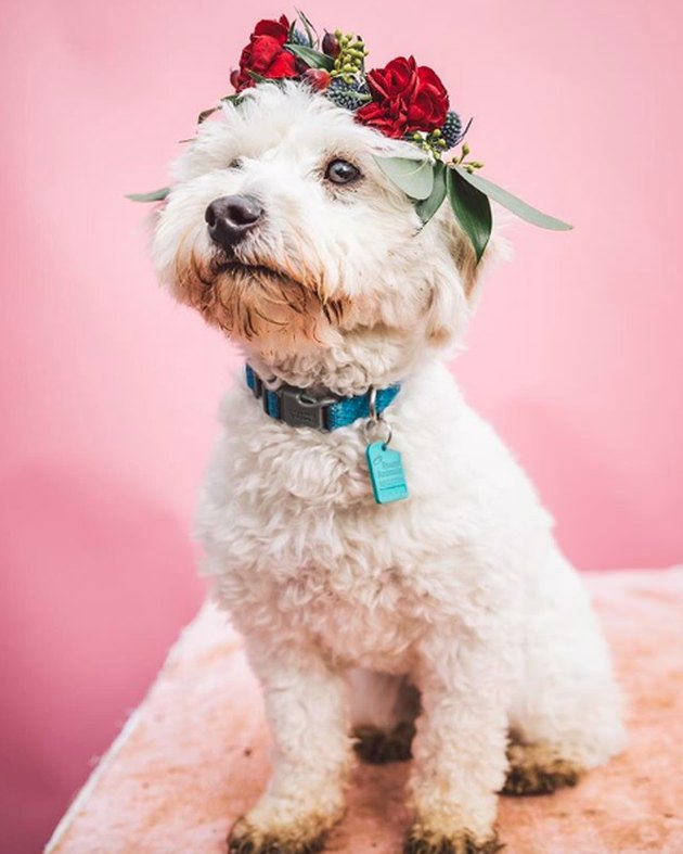 fluffy white dog in red rose flower crown