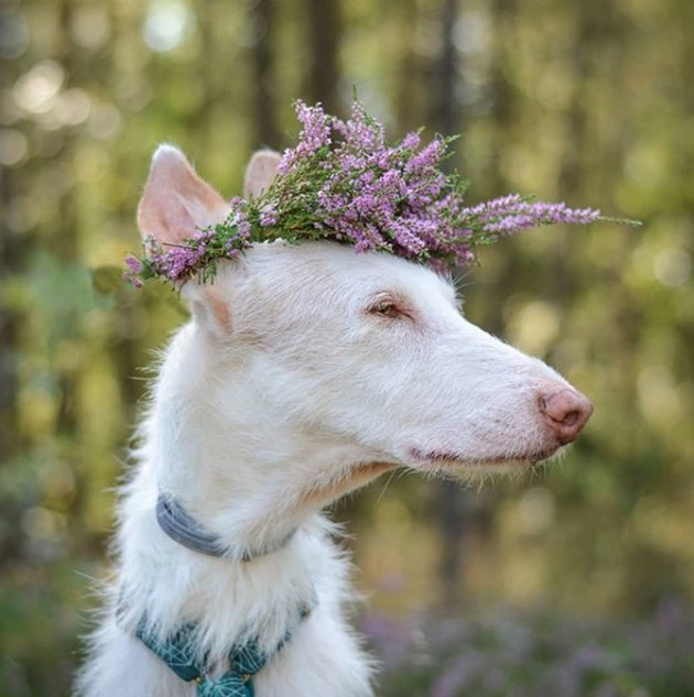 white dog in lavender flower crown