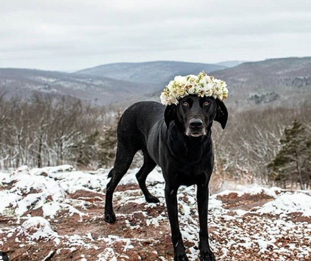 black lab with yellow flower crown