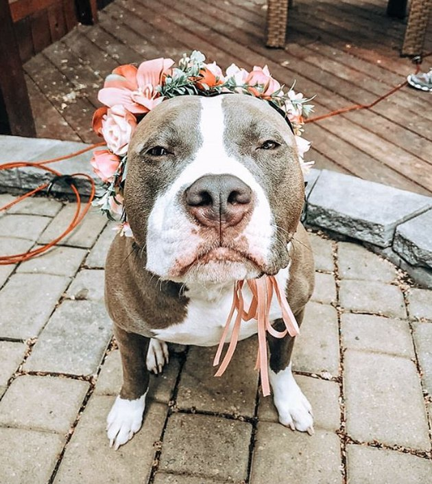 pitbull wearing orange flower crown
