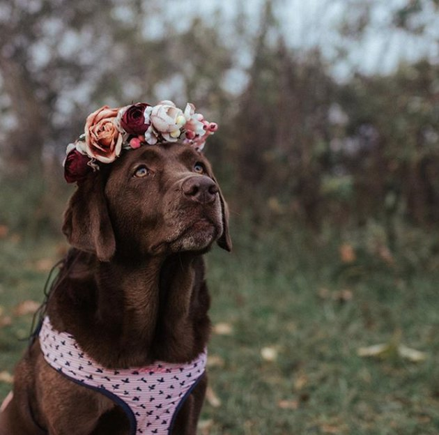 brown lab with flower crown and pink vest