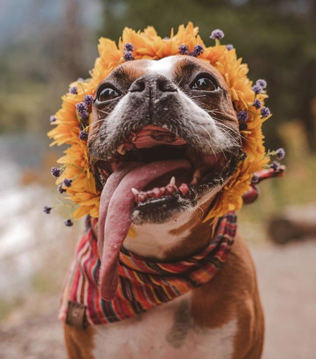 dog with tongue out wearing wildflower crown