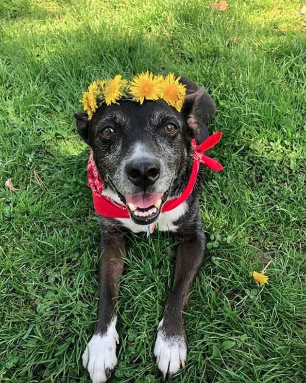 dog in sunflower crown