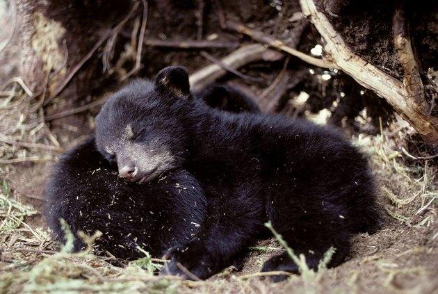 sleeping bear cubs
