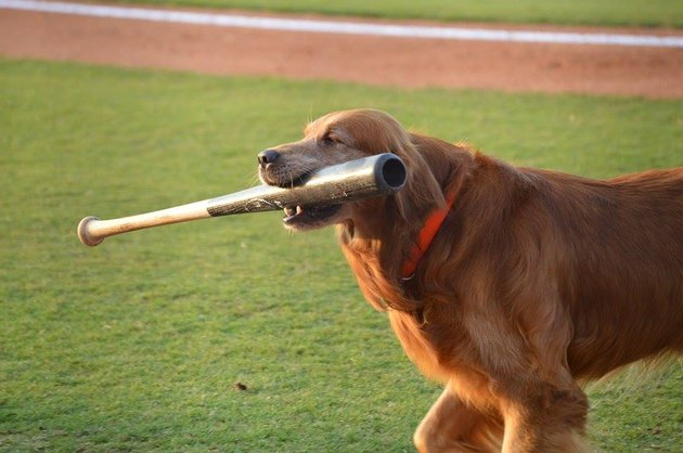 Dog with baseball bat