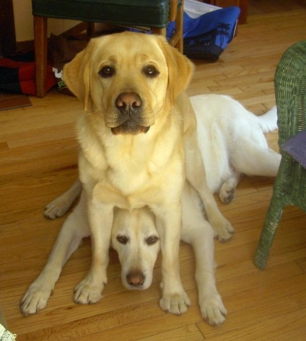 Dog sitting on top of other dog's head.