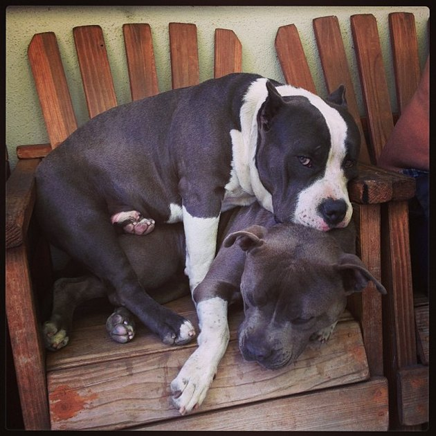 Dog lying on top of other dog in deck chair.
