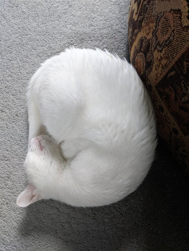 White cat curled into a ball.