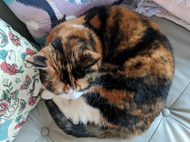 Calico cat curled into a ball.
