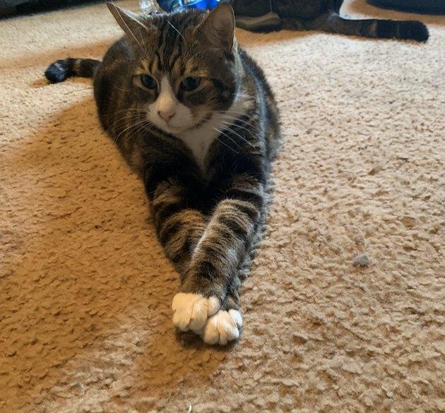 cat with legs crossed