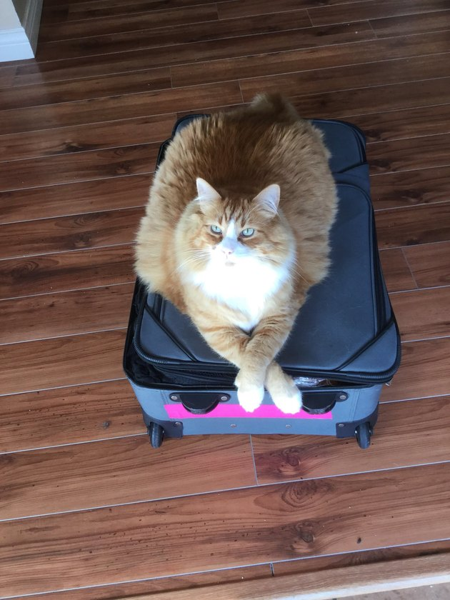 cat with legs crossed on suitcase