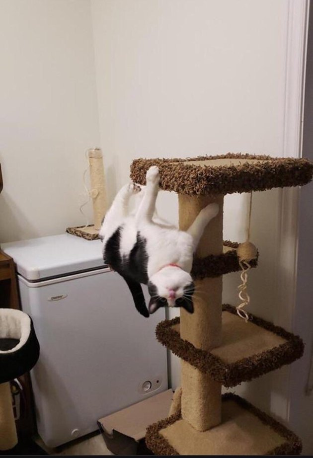 Cat hanging upside down from a cat tree